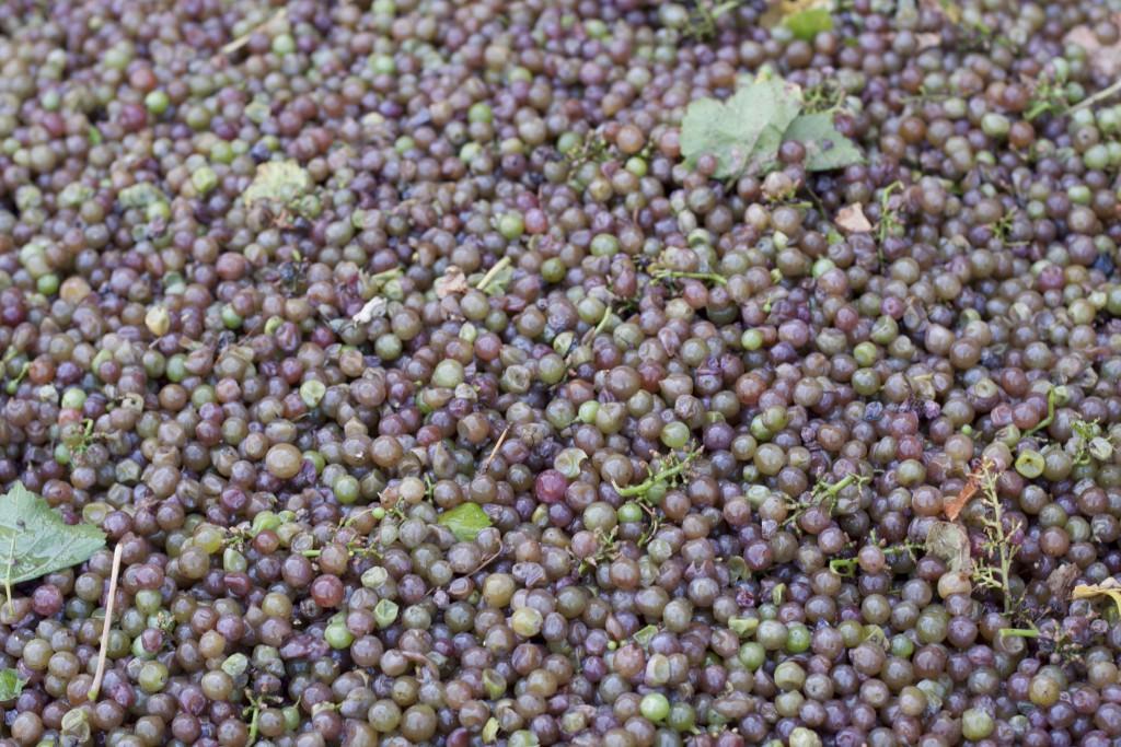 L'uva raccolta riposa nella tramoggia prima di passare alla pressa